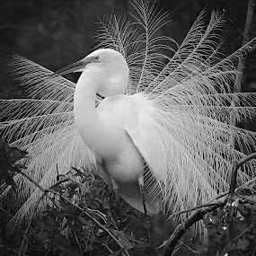 Breeding Display! by Anthony Goldman - Black & White Animals ( bird, great, breeding plummage, tampa, wildlife, wil, egret, rookery,  )