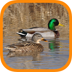 Real Duck Simulator Hacks and cheats