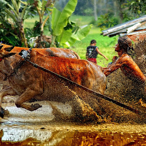 pacu jawi by Don Borland - News & Events World Events