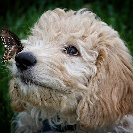 My nose is itching! by Sandy Scott - Animals - Dogs Puppies ( pets, goldendoodle, humor, puppy, butterfly, pup, animals, insects, dog, cute, dog portrait )