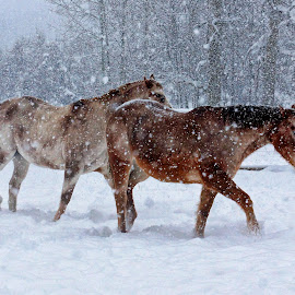 Winter Stroll by Twin Wranglers Baker - Animals Horses ( appaloosa horses, ranch, winter, horses, montana, snow, horse, appaloosa )