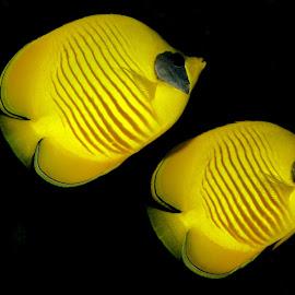 Masked Butterflyfish by David Gilchrist - Animals Fish ( red sea, underwater, underwater photograph, fish, butterflyfish )