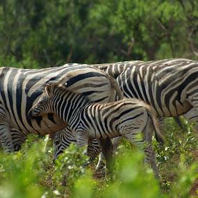 Zebra family by Jason C Robinson - Animals Other Mammals ( zebra, africa, baby, family, wildlife )