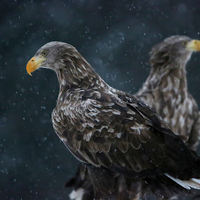 Sea eagles in snowy weather by Lillian Utstrand Gulliksen - Animals Birds ( smøla, adult eagles, sea eagle, eagles in snow, eagle couple )