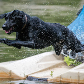 Diving into Lake Norman by Alan Chester - Animals - Dogs Playing ( lake norman, labrador retriever, memorial day weekend 2015, jumping, nc, black lab, dog, labrador, diving, swimming, north carolina )