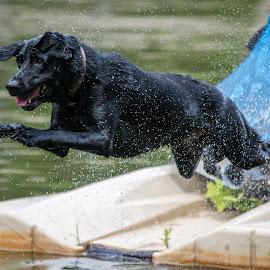 Diving into Lake Norman by Alan Chester - Animals - Dogs Playing ( lake norman, labrador retriever, memorial day weekend 2015, jumping, nc, black lab, dog, labrador, diving, swimming, north carolina )
