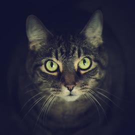 My green eyes by Leah Varney - Animals - Cats Portraits ( cats, cat face, pet photography, cat eyes, cat portrait, catsofinstagram, feline, domestic cat,  )