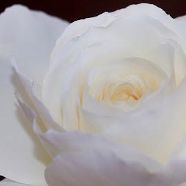 White Beauty by Ken Nicol - Flowers Flower Buds (  )