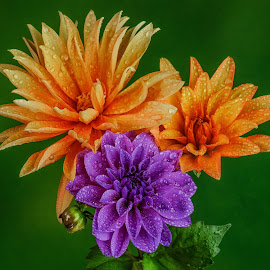 Orange and Purple Dahlias #8 by Jim Downey - Flowers Flower Arangements ( orange, green, purple, dahlias, dewy )