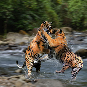 Duel tiger by Hendrik Cuaca - Animals Lions, Tigers & Big Cats