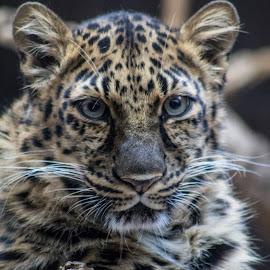 (9) 2015-03-16 by Richelle Wyatt - Animals Lions, Tigers & Big Cats ( richelle@richelleleighphotography.com, omaha, march, zoo, 2015-03-16, 2015, march 2015, www.richelleleighphotography.com, richelle leigh photography, spring, omaha henry doorly zoo )