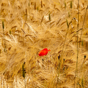 Red poppy in a yellow field by Teus Renes - Landscapes Prairies, Meadows & Fields ( field, red, meadow, poppy, yellow )