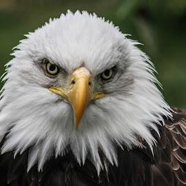 Head tilt by Garry Chisholm - Animals Birds ( bird, garry chisholm, eagle, nature, wildlife, prey, raptor, bald,  )