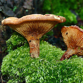 Double trompette by Gérard CHATENET - Nature Up Close Mushrooms & Fungi