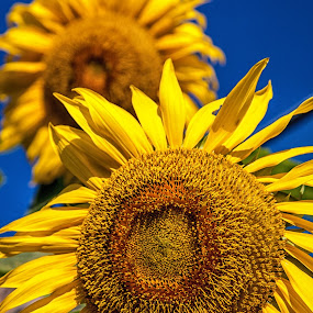 Yellow and Blue by Dan Herman - Nature Up Close Flowers - 2011-2013