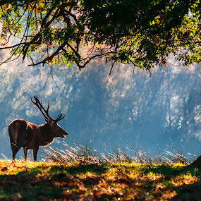 Deer Beneath the Tree by Michael Ripley - Animals Other Mammals ( tree, autumn, sunrise, stag, deer )
