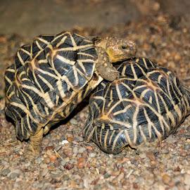 Indian Star Tortoise by Mel Stratton - Animals Reptiles ( tortoise, star, indian, reptile, indian star tortoise )