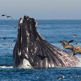 Bigmouth Strikes Again! by Helen Mathias - Animals Sea Creatures ( humpback, monterey, california, feeding, dive, brown pelican, bubble netting, usa, pelican, whales, humpback whale, lunge, whale, diving )
