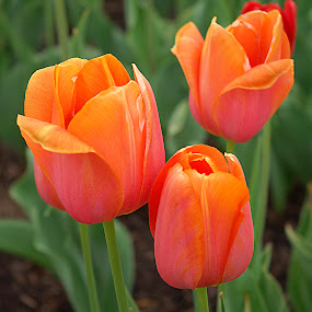 Tulips #11 by Frank Barnitz - Flowers Flower Gardens ( orange, tulips, flower )