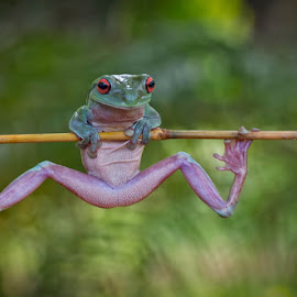 Let's Gym.... by Vincent Sinaga - Animals Amphibians ( frog, amphibian, gym, green frog, animal )