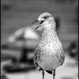Gull by Dave Lipchen - Black & White Animals ( gull )