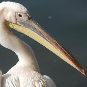 by Rajesh Dhungana - Animals Birds (  )