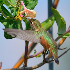 Hummie by Lyn Daniels - Animals Birds