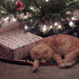 ol' chuck by Dean Germann - Animals - Cats Portraits ( potrait, cat, pet, christmas )