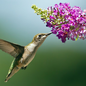 Ruby Throated Hummingbird by Herb Houghton - Animals Birds ( wild, butterfly bush, ruby throated hummingbird, hummingbird, herbhoughton.com, songbird, natural, hummer )
