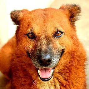 Bruno : Face Portrait. by Vinod Rajan - Animals - Dogs Portraits ( face, candid, watch, teeth, portrait, brown, dog, brownie, look, pet,  )