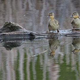 2 Ducklings by Joe Chowaniec - Animals Birds ( ducklings, reflection, nature, ducks, birds )