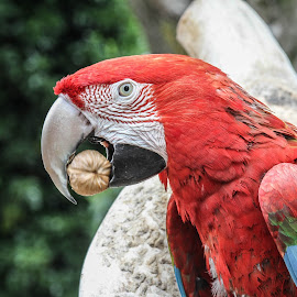 Mouthful by Garry Chisholm - Animals Birds ( bird, garry chisholm, nature, parrot, wildlife, macaw )