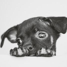 Mr Viet by Thomas Jeppesen - Animals - Dogs Portraits ( blackandwhite, b&w, hanoi, bw, vietnam, dog, portrait )