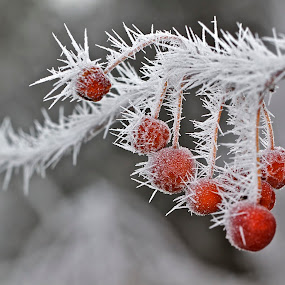 Hoar Frost and Crab Apples by Larry Kaasa - Landscapes Weather
