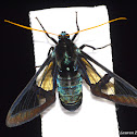 Clear Wing Moth, Wasp Mimic