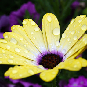 In the rain by Alex Heimberger - Nature Up Close Flowers - 2011-2013 ( dew, close up, rain, flower )