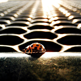 Lady Bug at Sundown by Sandra Aguirre - Animals Insects & Spiders ( spots, macro, closeup of ladybug, perspective, ladybug )