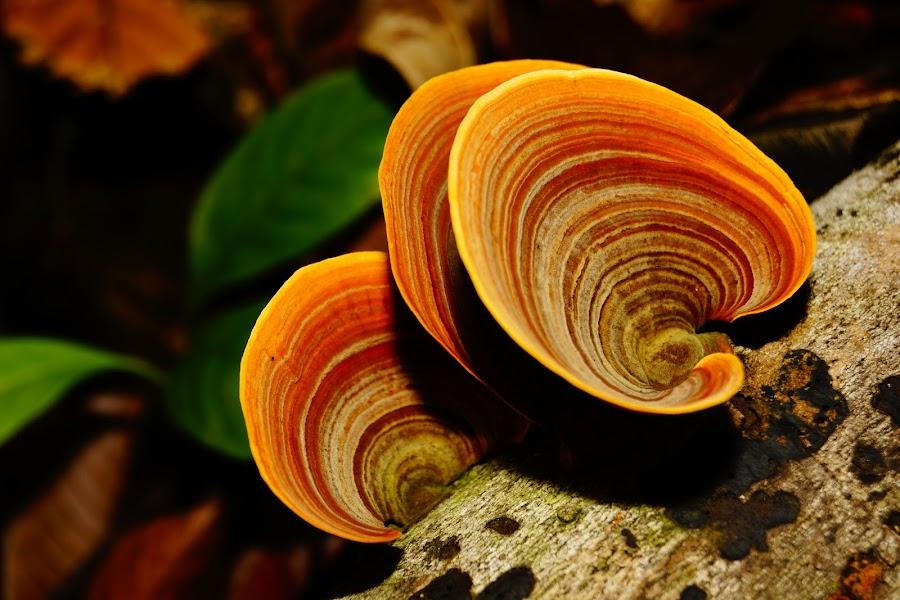 I'm gifted with beautiful colour by Cikgu Al - Nature Up Close Mushrooms & Fungi ( mushroom, orange, macro, fungi, beautiful )