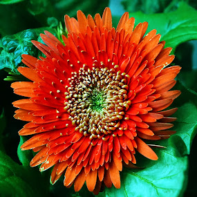 0range Gerbera by Dee Haun - Flowers Single Flower ( orange, red, h6074, single flower, gerbera daisy, 2016, flowers, gerbera,  )