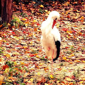 Autumnal Stork by Kaja Radošević - Animals Birds