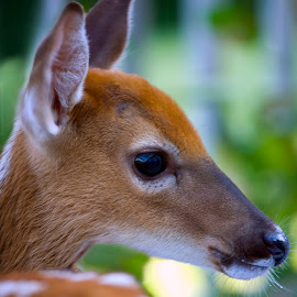 Misty (2010) by Claudius Cazan - Animals Other Mammals ( tame, baby deer, friendly, fawn, young, deer )