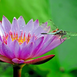 Waterlily by Asif Bora - Flowers Flower Gardens (  )