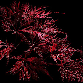 Majestic Maple tree by Jackie Matthews - Nature Up Close Trees & Bushes ( black background, red, autumnal, tree, autumn, fall, maple )