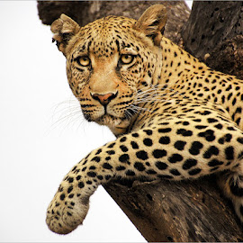 leopard in tree by Leon Pelser - Animals Lions, Tigers & Big Cats ( no flash, f 6.3, daylight wb, 1/400, iso 400,  )