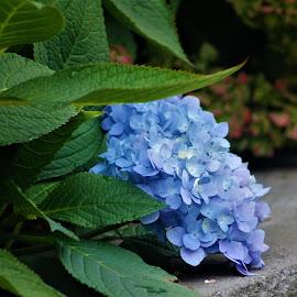 November Hydrangea by Leah Zisserson - Flowers Flower Gardens ( november, park, blue, hydrangea, massachusetts, flower )