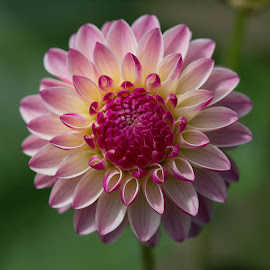 Pink and White by Janet Marsh - Flowers Single Flower ( pink and white, pescadero, dahlia )