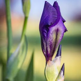 Iris Bud by Chad Roberts - Flowers Flower Gardens ( purple, chad roberts, chadseyes, iris, image, chadroberts.blogspot.com, landscape, springtime, garden, spring, flower, photography )