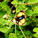 The yellow pansy-Male