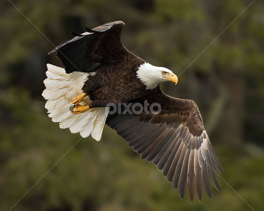 by Herb Houghton - Animals Birds ( bird of prey, eagle, bald eagle, raptor )