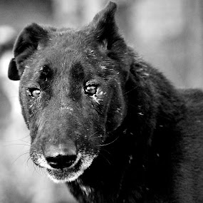Ufo, the old lady by Adrienn Liker - Animals - Dogs Portraits ( old, female, black and white, sick, dog )